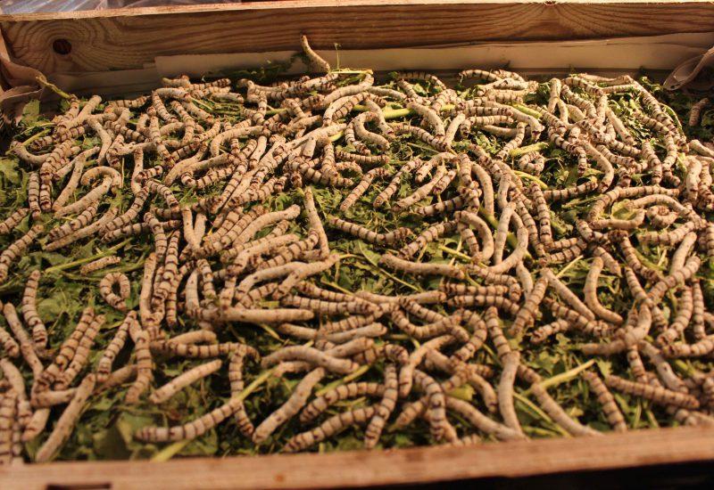 Lyon vers à soie marché de la soie @françoyse Krier