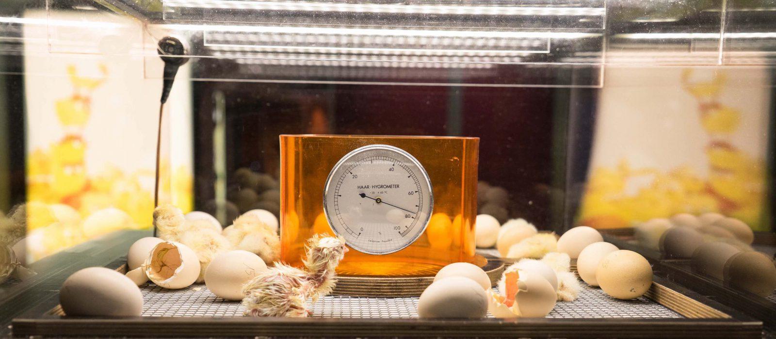 Poussins 2018 dans la couveuse ©michaelmaillard.com