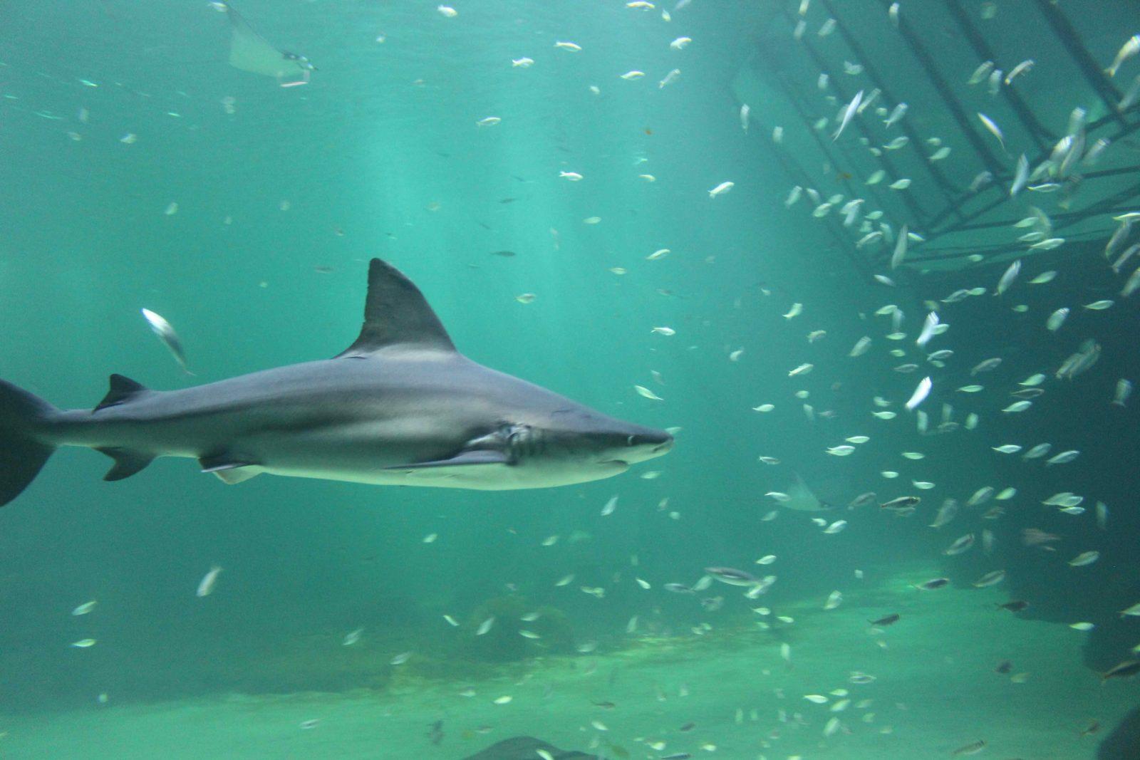 Nausicaa Boulogne-sur-Mer requin bleu