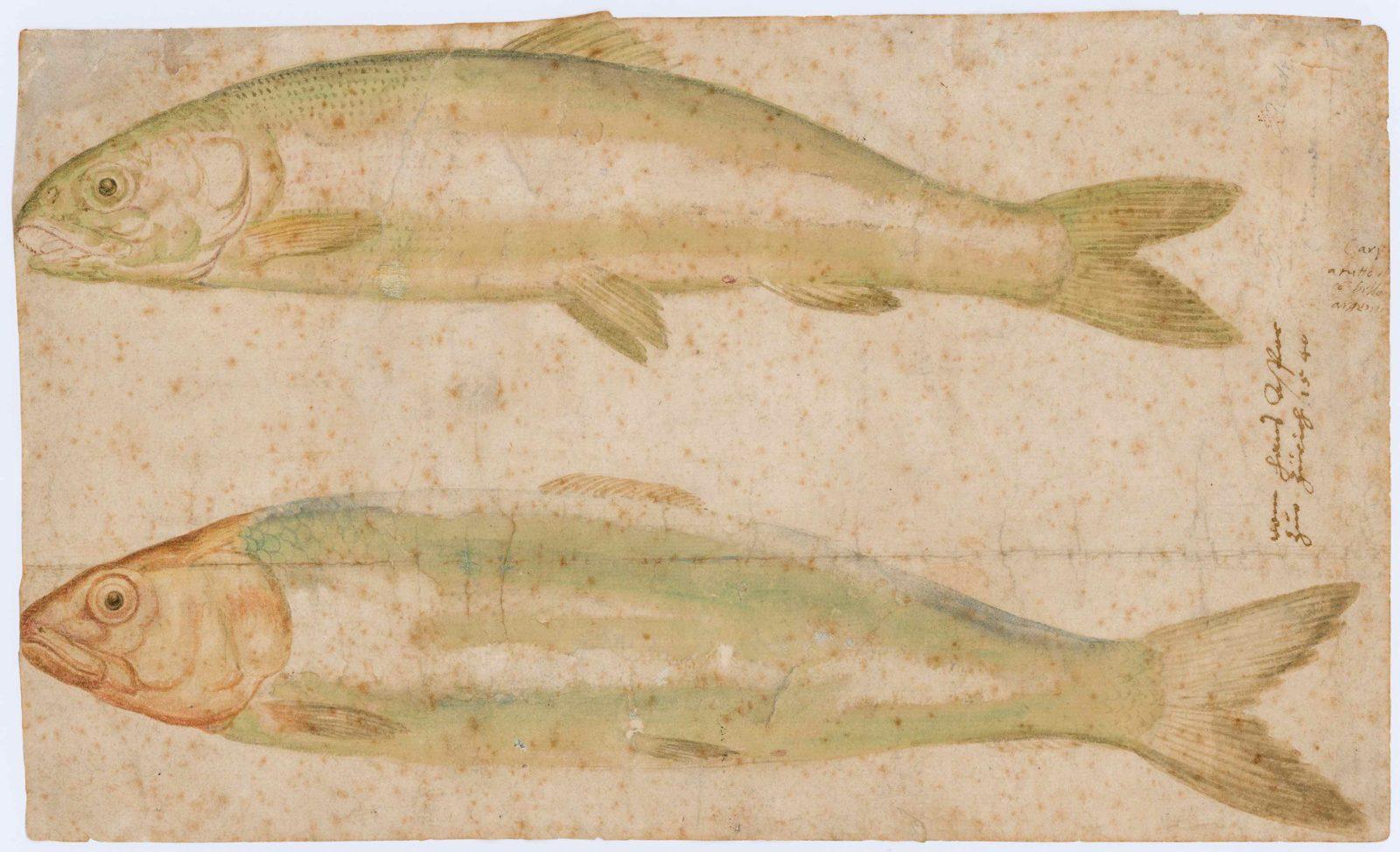 Hans Asper, Poissons   1540, dessin aquarellé