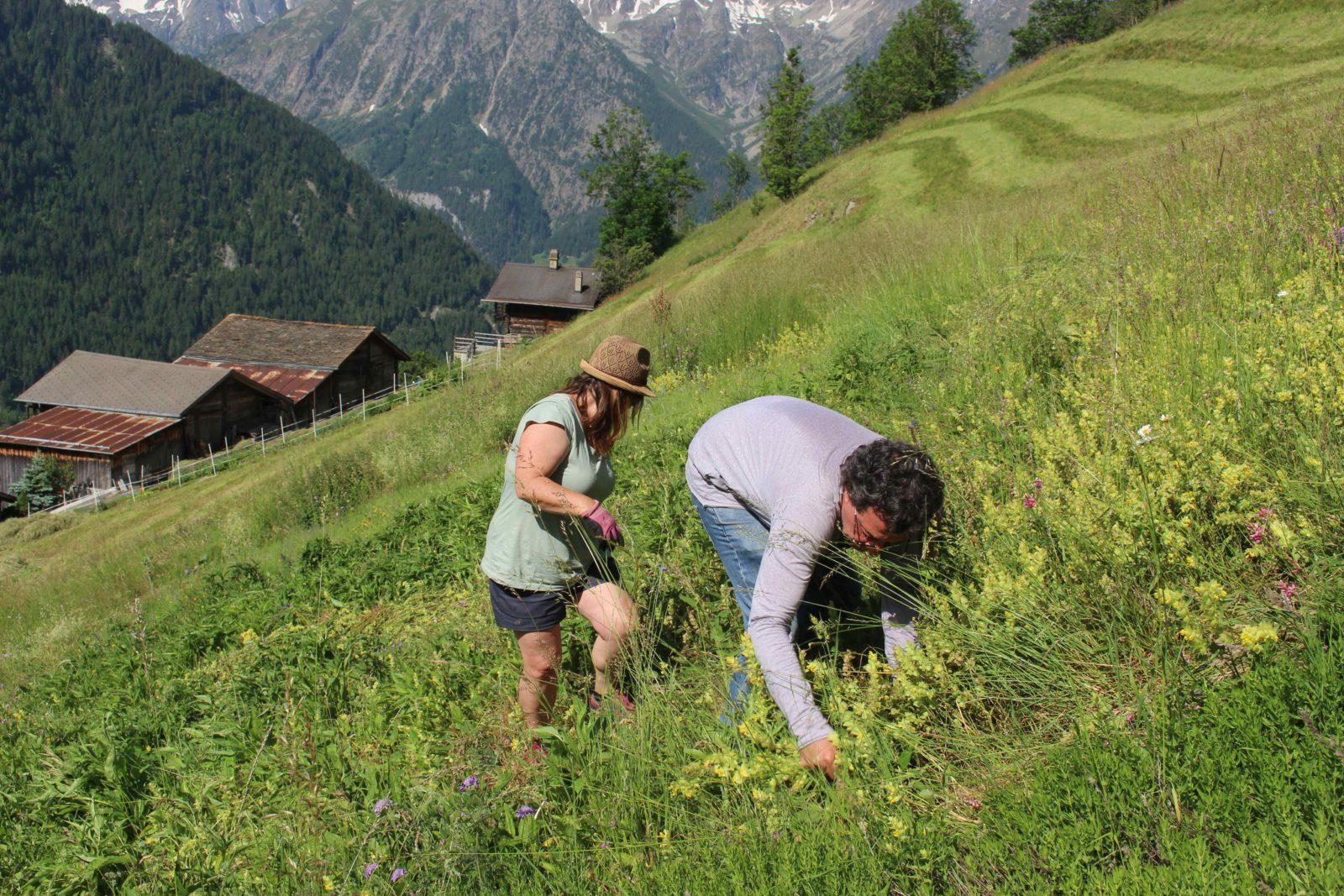 Commeire: Laurence et Jérôme cueillent des plantes médicinales.