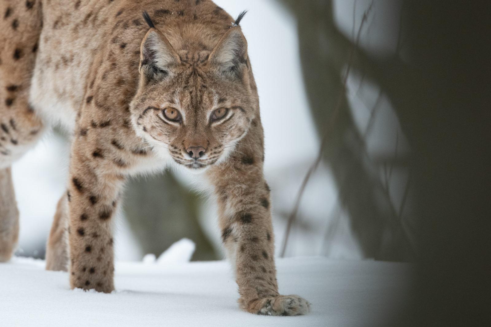 Lynx, une ombre en lumière, Neil Villard