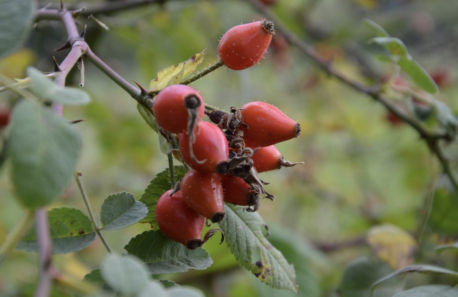 les cynorhodons, fruits de l'églantier