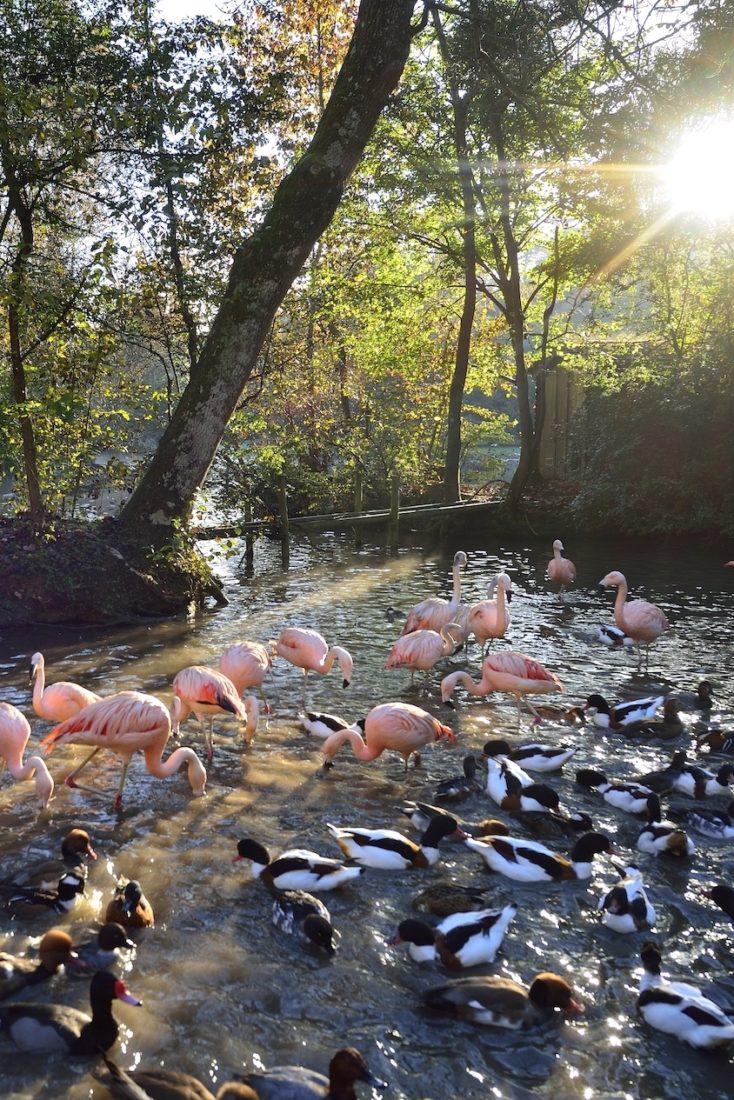 Vue du Parc des Clères  Flamants roses