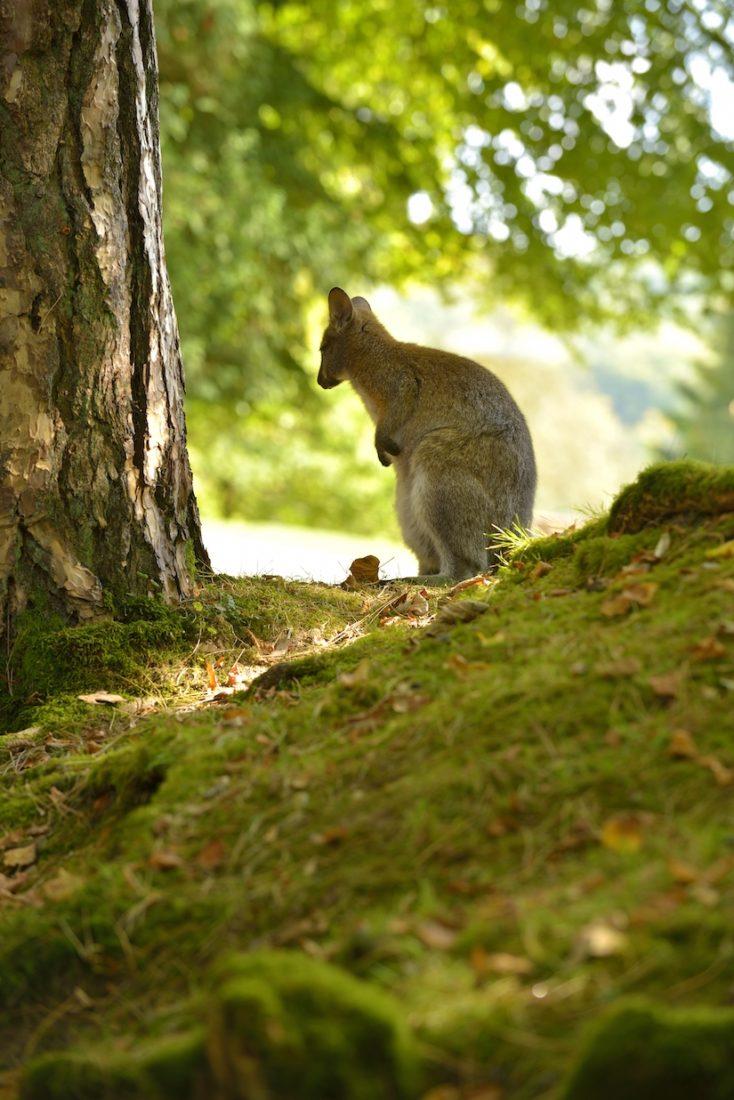 Vue du Parc des Clères  kangourou
