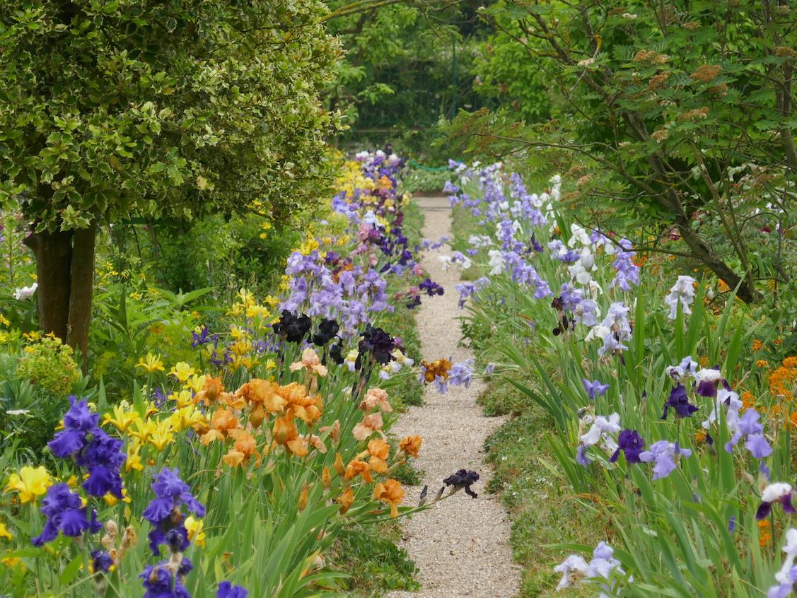 Iris jardin  de Claude Monet à Giverny