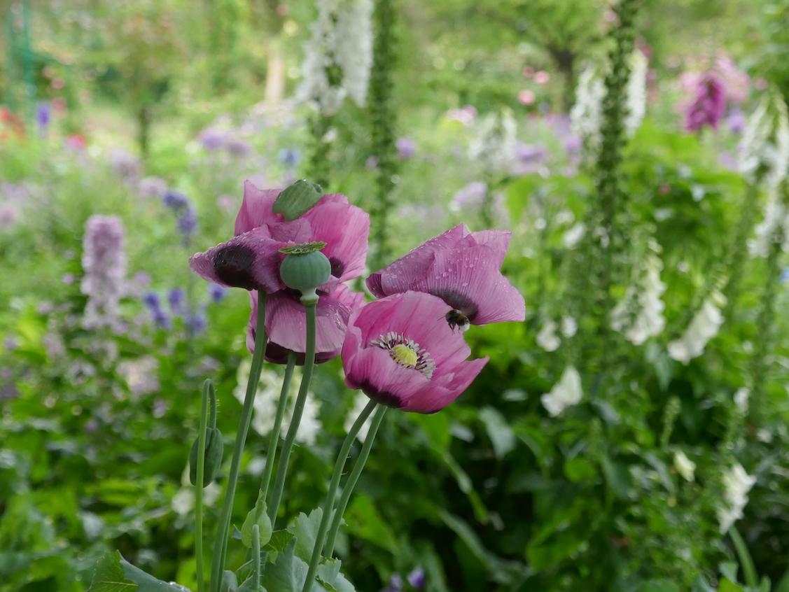 Fleurs au jardin  de Claude Monet à Giverny